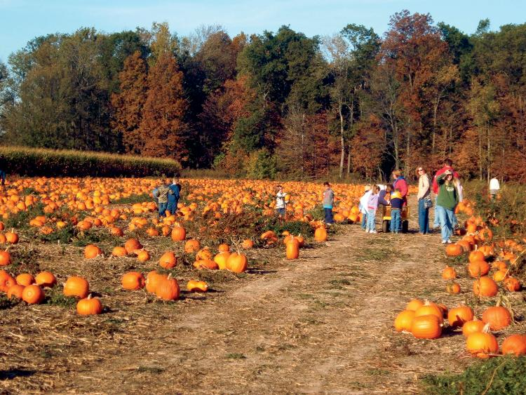 Pick-your-own pumpkins at Harper Valley Farms in Indiana