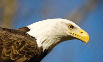Bald Eagle Watching in Indiana