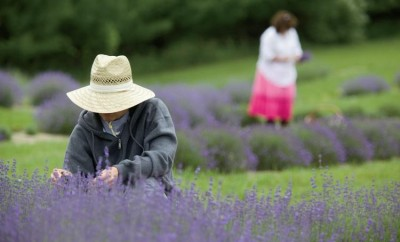 Lavender Lane farm in Noble County IN