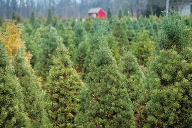 Indiana Christmas Tree Farms