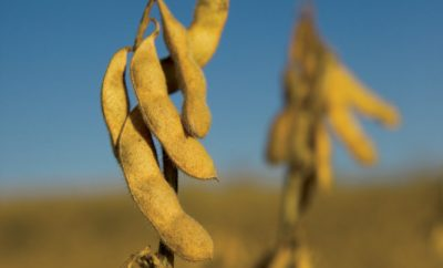 Soybeans ready to be harvested at the Schluterman family farm in Paris, Arkansas.