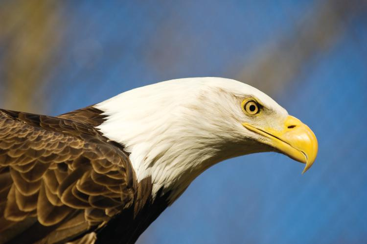 See Eagles in Indiana This Winter - My Indiana Home