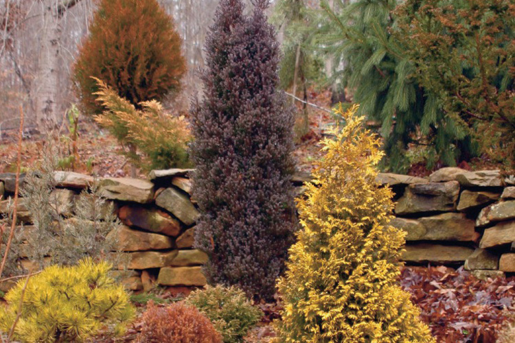Colorful Evergreen Conifer Trees
