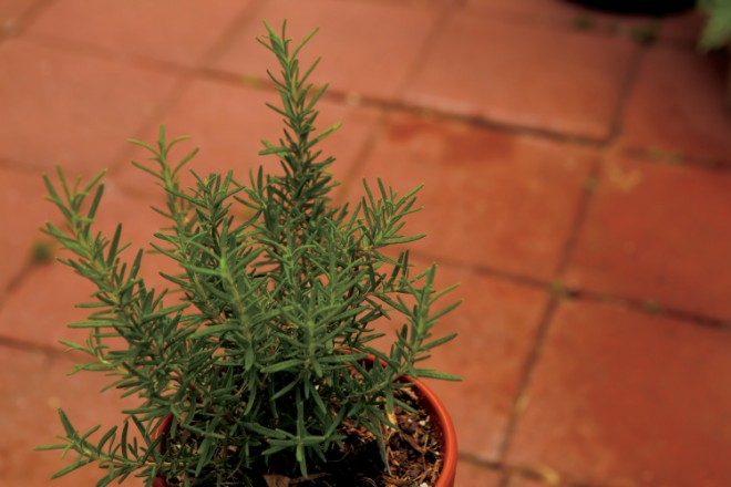 An Herb container Garden with Rosemary