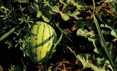 Watermelon grows on a vine