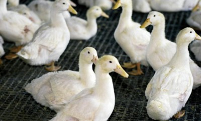 White Pekin Ducks at Maple Leaf Farms