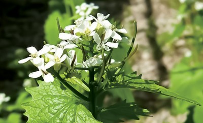 Garlic Mustard Flowers; Invasive Plants; Gardening; Indiana Plants