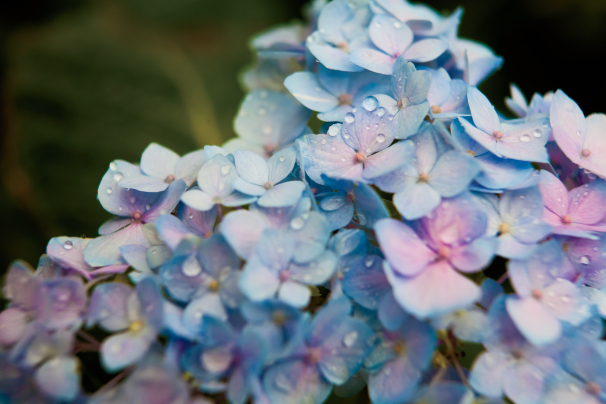 How Does Your Hydrangea Grow My Indiana Home