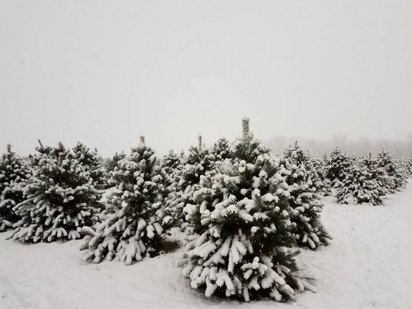 Egolf Christmas Trees