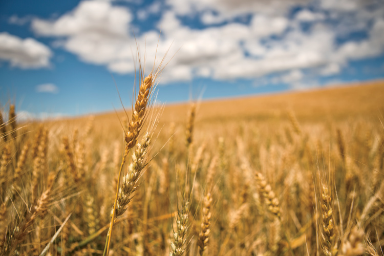 Farm Facts About Wheat