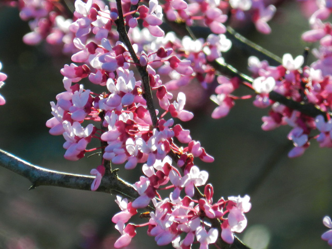 Three Native Flowering Trees For Spring Color My Indiana Home